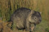 stock photo of wombat  - Wombat in field - JPG