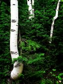 Detail of several aspen birch trees with green summer leaves adn pine trees