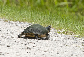 pic of cooter  - A moss covered river cooter turtle  - JPG
