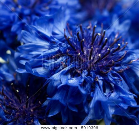 Blue Cornflower Or Bachelors Button Centaurea Cyanus