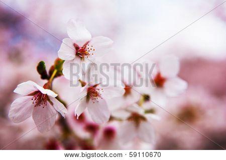 Impressional cherry blossom .