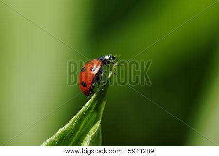 Seven-spot Ladybird, Coccinella Septempunctata