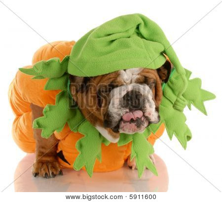 Bulldog Dressed Up As A Pumpkin