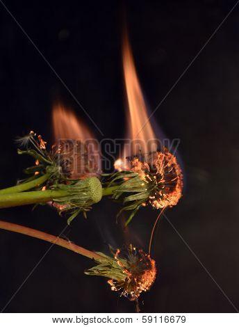 flaming dandelions