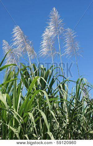 Sugar Cane, Guadeloupe