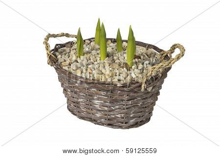 Tulips In Basket On White