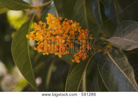 Orange Flower Of Chicos Paradise
