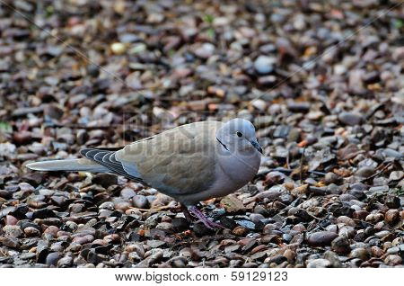 One Collared Dove.