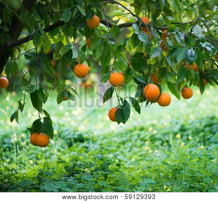 Orange On A Tree Branch