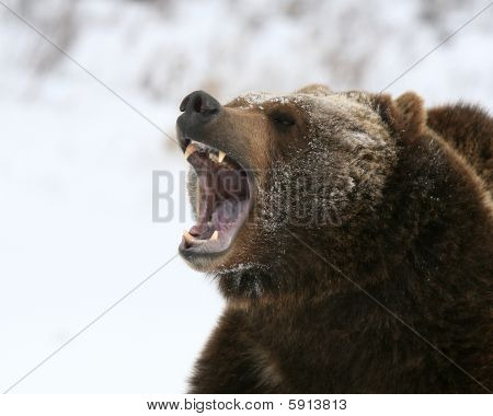 Growling Grizzly Bear