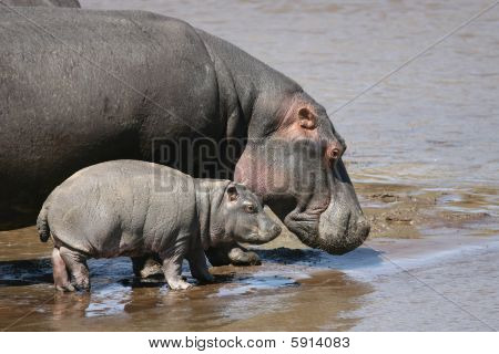 Mother Hippo and Baby