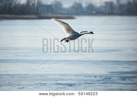 Swan Flying Against A Background Of Blue Ice Lake.
