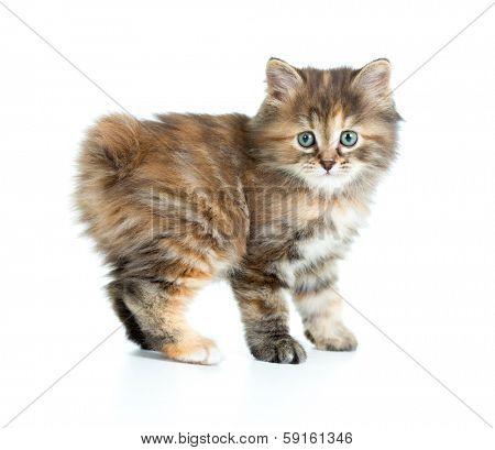Kuril bobtail kitten looking to camera isolated
