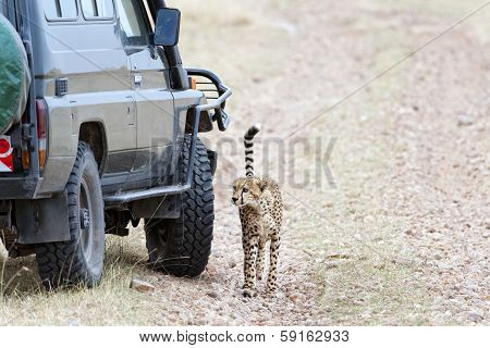 Close Encounter With Cheetah
