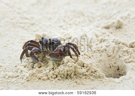 Ghost Crab Leaves Its Hole