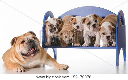 dog family - english bulldog father laying beside litter of puppies sitting on a bench isolated on white background