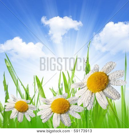 Dewy green grass with daisies on meadow. Spring background.