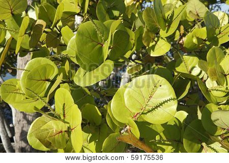 Sunny Sea Grape Leaves