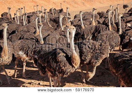 Ostriches (Struthio camelus) on an ostrich farm, Karoo region, Western Cape, South Africa