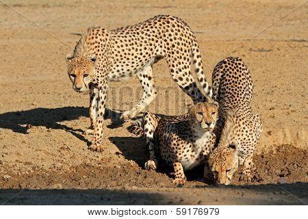 Cheetahs (Acinonyx jubatus) drinking water, Kalahari desert, South Africa