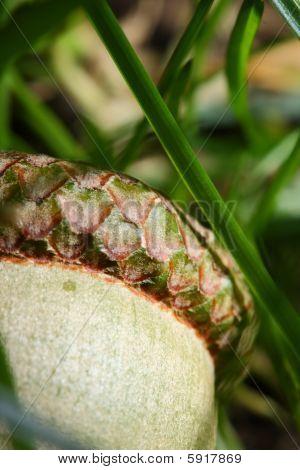 Acorn In Grass