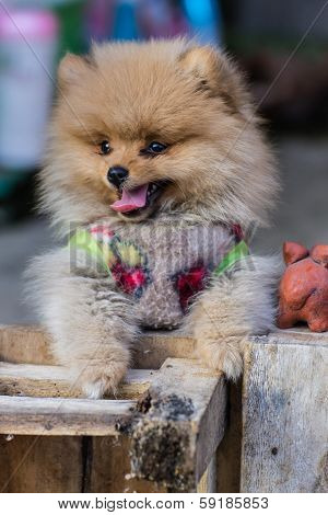 Pomeranian Garb