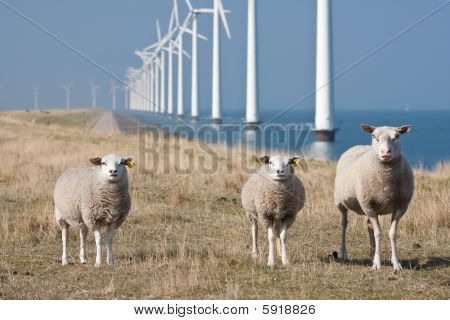 Windmills And Sheep