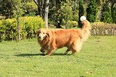 Golden Retriever Running Carrying A Rubber Ball