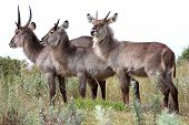 picture of antelope horn  - Three Waterbuck antelope males with shaggy coats and horns