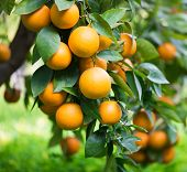 foto of tangerine-tree  - Branches with the fruits of the oranges trees - JPG