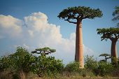 picture of baobab  - Baobab trees on a dry land at sunny day - JPG