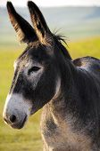 stock photo of burro  - Close up of a Grey Burro at Custer State Park South Dakota - JPG
