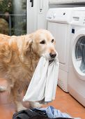 stock photo of dingy  - Golden Retriever dog doing laundry at home - JPG