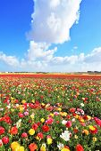 image of buttercup  - Spring in Israel - JPG