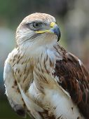 pic of buzzard  - The Common Buzzard (Buteo buteo) detail. Focus on eye.