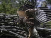 stock photo of hawks  - This Harris Hawk was stretching it - JPG