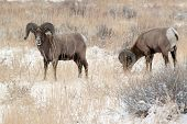 Bighorn rams in winter