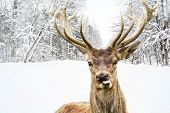 image of snowy-road  - Deer with beautiful big horns on a winter country road - JPG