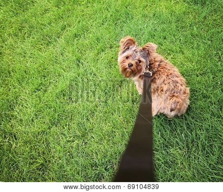 a cute yorkshire terrier on a leash looking up at the camera - wide angle shot