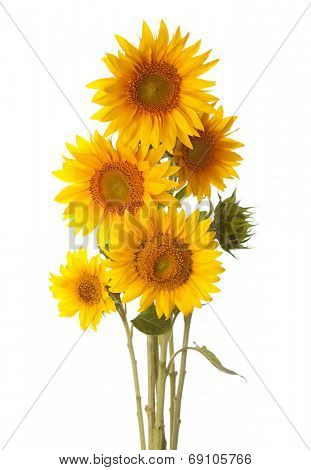 Bouquet of sunflowers isolated on a white background