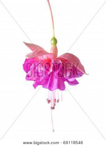 Beautiful Colorful Fuchsia, Isolated On White Background, `kathy's Sparkler`