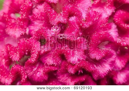 Celosia Or Wool Flowers Or Cockscomb Flower