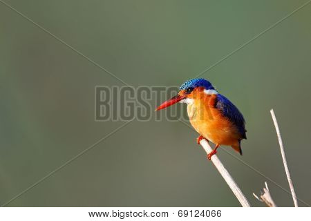 Malachite Kingfisher (Alcedo Cristata) perched on a dry reed - Kruger National Park ( South Africa)