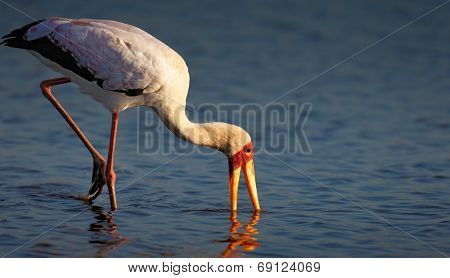 Yellow-billed stork (Mycteria ibis) wading in shallow water - Kruger National Park (South Africa)