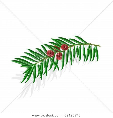 Yew Sprigs With Red Berries Vector