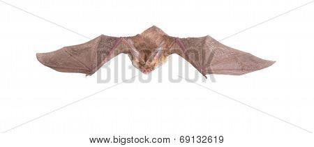 Long-eared Bat Fly