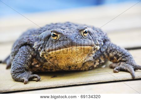 Common (european) Toad - Bufo Bufo
