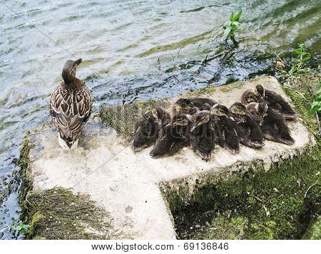 Duck With Ducklings On Lake
