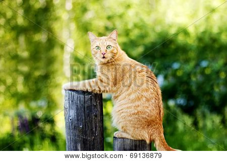 Orange Funny Cat On Fence