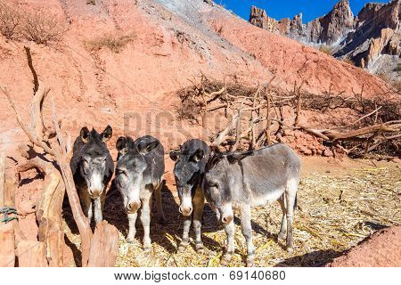 Four Donkeys
